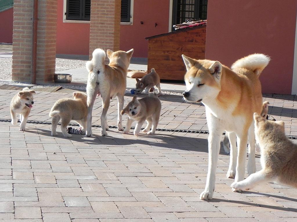Allevamento di cani di razza Akita Inu